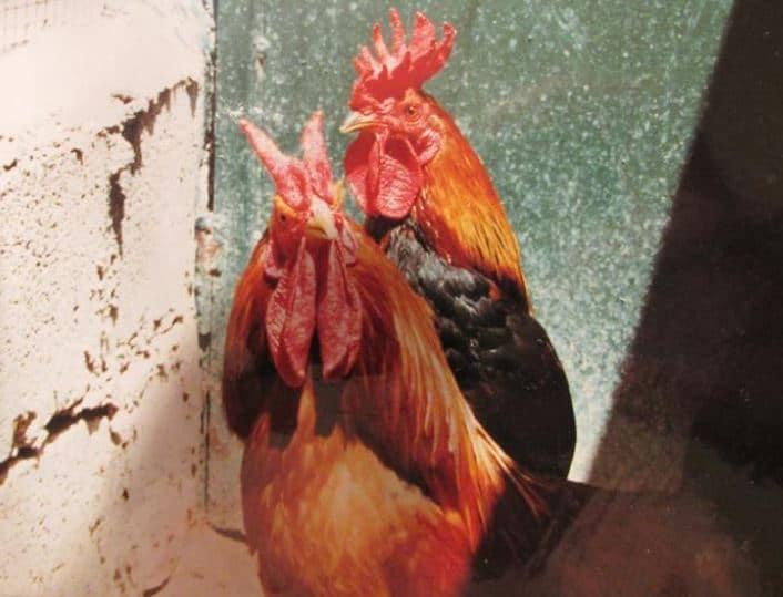 Un Gallo Cornuto di Caltanissetta (con cresta cornuta) e un Gallo Siciliano (con cresta a corona)