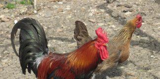 Gallina ovaiola razza siciliana | Tuttosullegalline.it