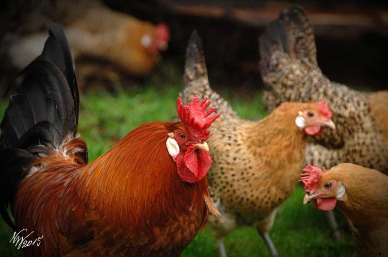 Splendidi esemplari di gallina Sicilian Buttercup