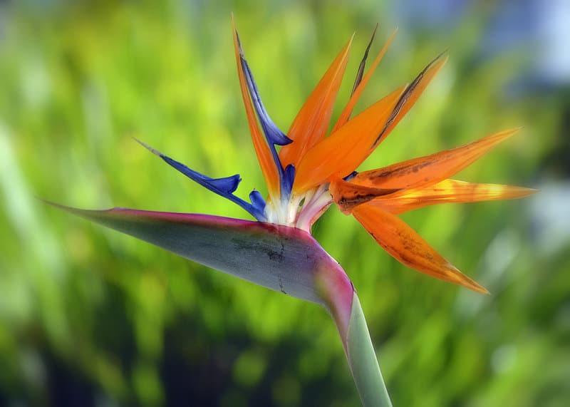 La sterlizia, il cui fiore ricorda la cresta della gallina di razza Siciliana