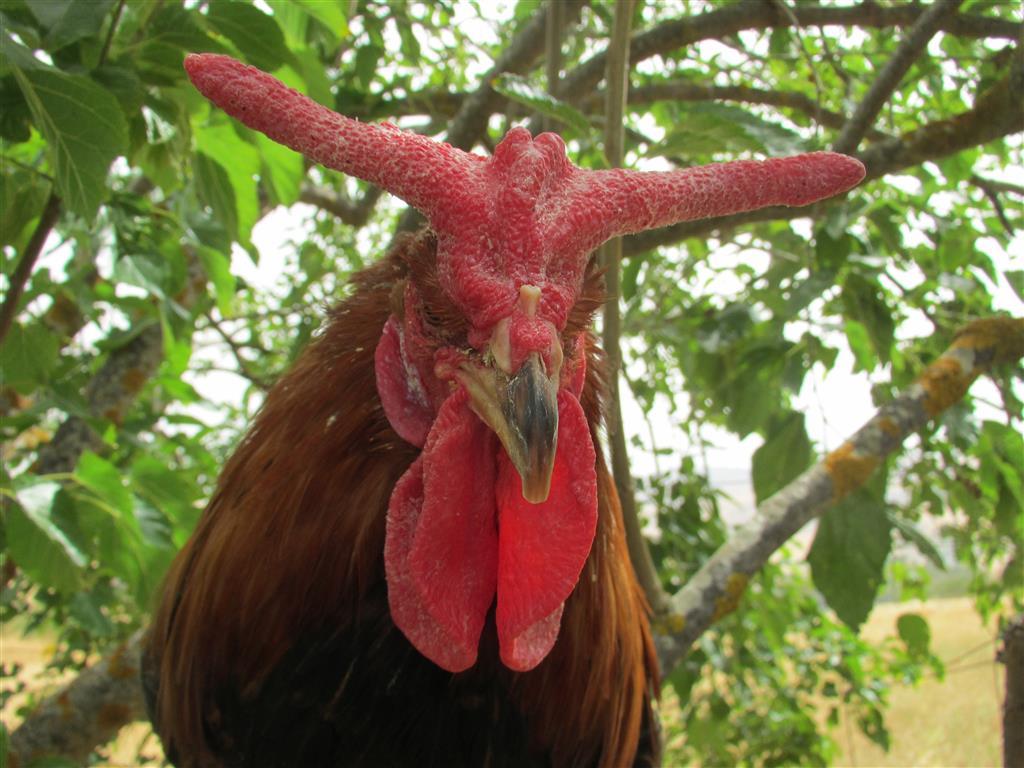 Gallo Cornuto di Caltanissetta (a corna di bue)