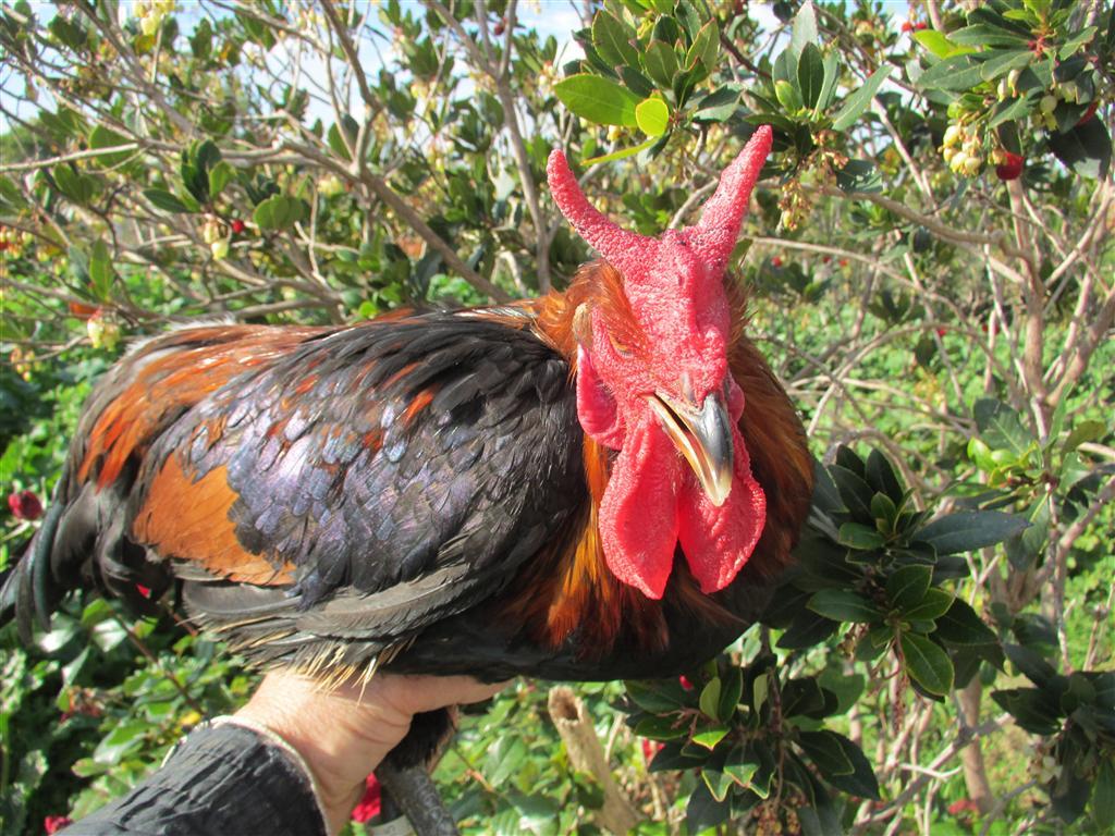 Gallo adulto di razza Cornuta di Caltanissetta