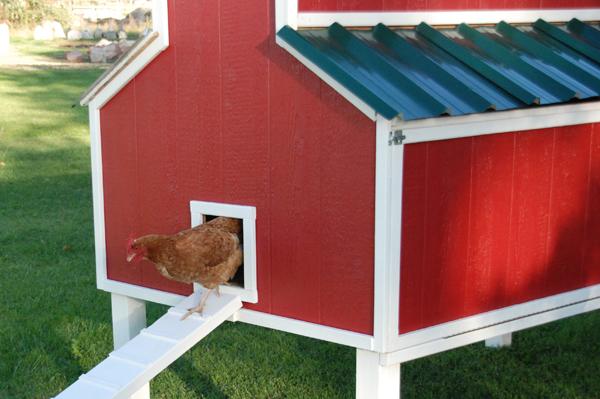 Gallina felice che esce dal suo pollaio a forma di fienile rosso (red barn chicken coop)
