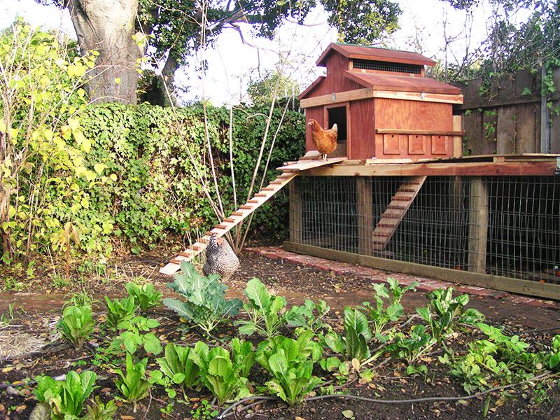 Allevamento domestico galline ovaiole in giardino con pollai di legno