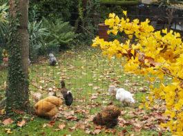 La manutenzione del pollaio a inizio autunno per il benessere delle galline   Tuttosullegalline.it
