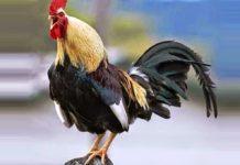Denizli: la razza famosa per il gallo dal lungo canto | Tuttosullegalline.it