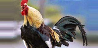Denizli: la razza famosa per il gallo dal lungo canto   Tuttosullegalline.it