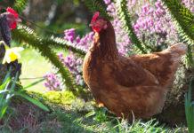 Allevamento domestico galline ovaiole per autoconsumo di uova
