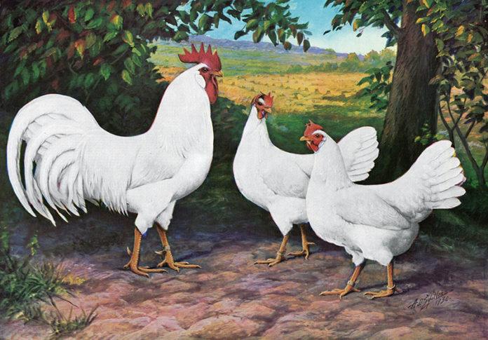Galline e Gallo di razza Livorno (dipinto) | Tuttosullegalline.it
