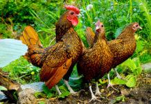 Sebright: una tra le razze bantam più piccole (e belle) di galline ornamentali