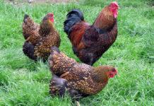 Wyandotte: la gallina ovaiola (e ornamentale) dal piumaggio variopinto | Tuttosullegalline.it