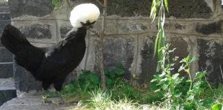 Olandese ciuffata, la gallina ornamentale più famosa d'Europa   Tuttosullegalline.it
