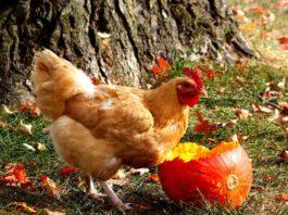 Riciclare la zucca (di Halloween) come alimento per le galline del proprio pollaio   Tuttosullegalline.it