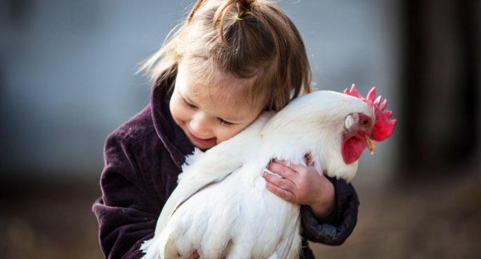 Matrimonio Tra Uomo E Animale : Gallina e pollaio nell evoluzione del rapporto tra uomo