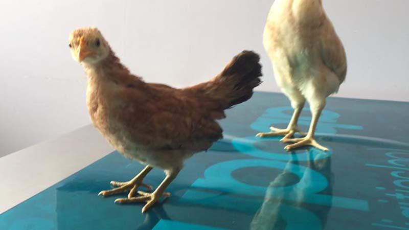 Saverio Meini, veterinario specializzato in avicoli