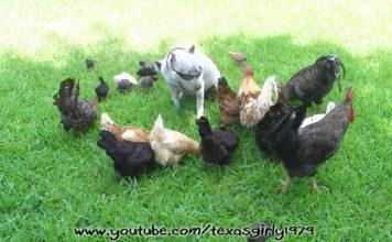 Video divertenti di galline e altri animali | Tuttosullegalline.it