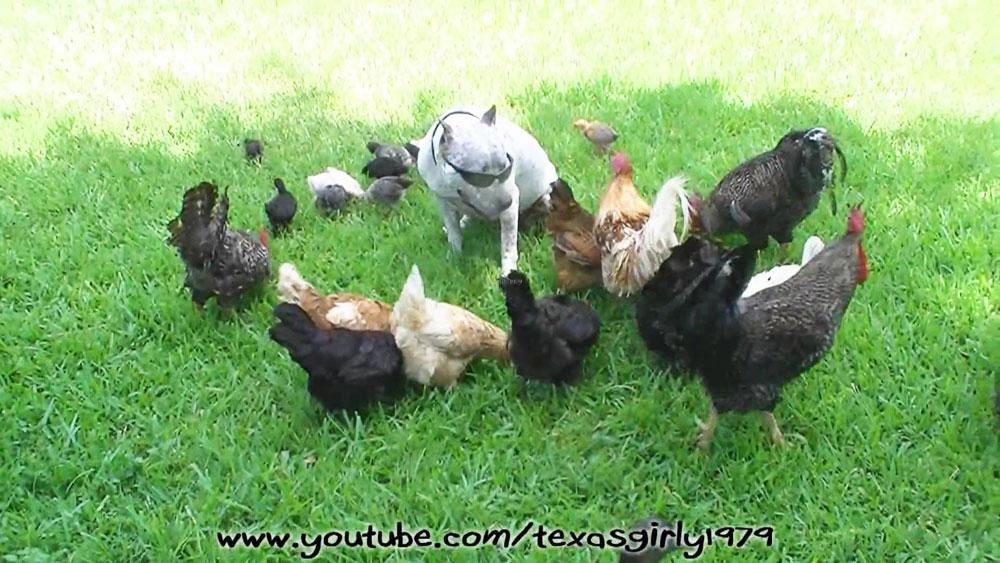 Favorito Video divertenti di galline alle prese con gatti, cani, bambini  JZ29