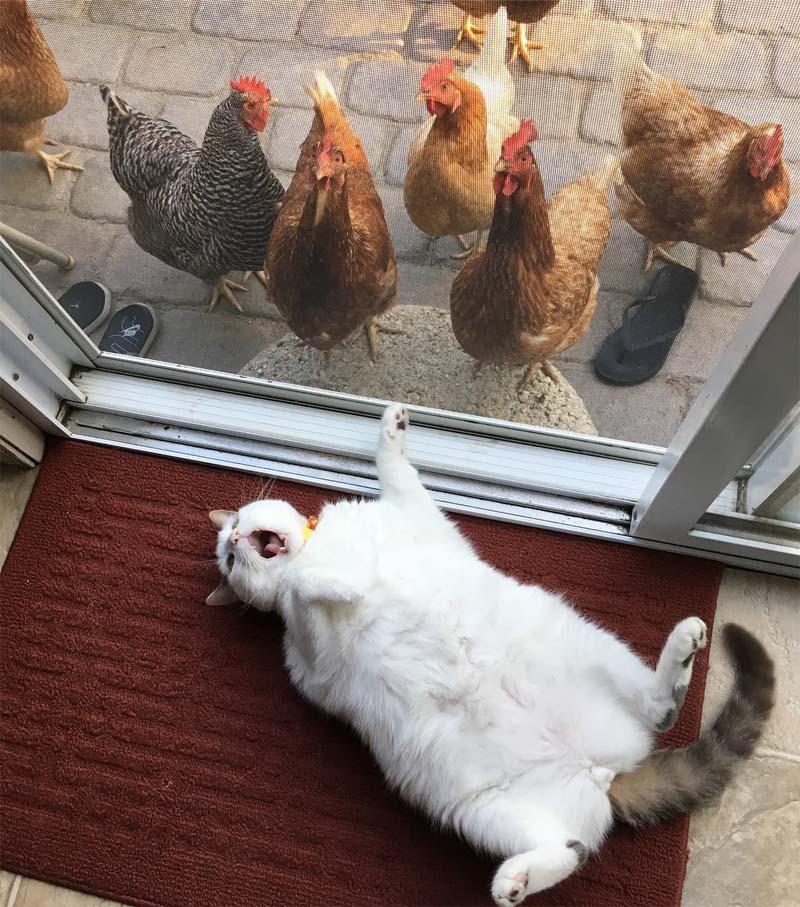Differenza di status tra gatto e galline
