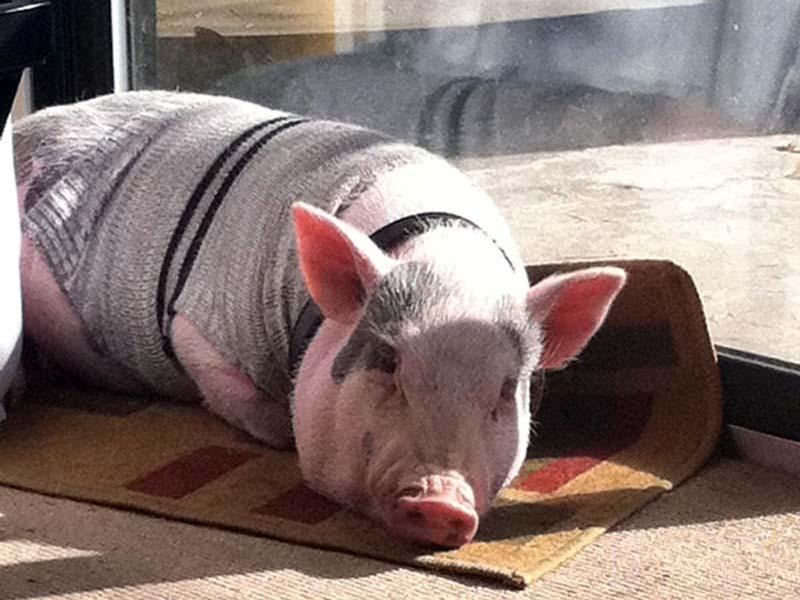 Il maiale è un animale domestico a tutti gli effetti ammesso in condominio come previsto dal Codice Civile