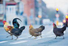Galline e pollai nel Codice Civile | Tuttosullegalline.it
