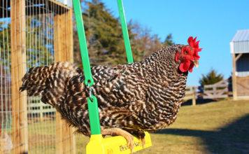 Gallina dondola su altalena nel pollaio | Tuttosullegalline.it