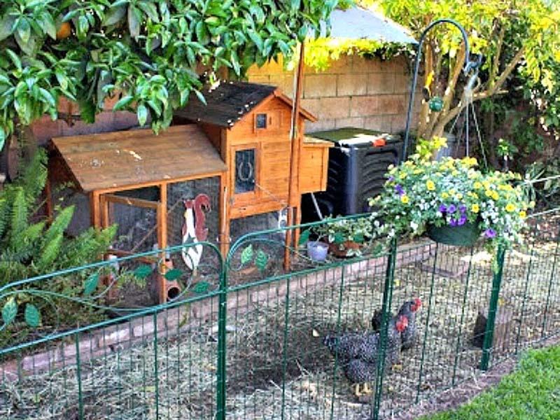 Galline ben sistemate con spazio adeguato nel giardino del condominio