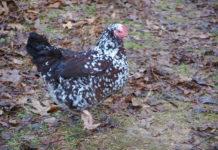 Sussex: la star delle galline ovaiole (e ornamentali) | Tuttosullegalline.it