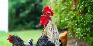 Versi nel pollaio: la gallina chioccia, il pulcino pigola e il gallo canta | Tuttosullegalline.it