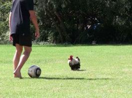 Video divertenti di galline e galli che giocano a calcio   Tuttosullegalline.it