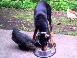 Video divertenti di galline e cani   Tuttosullegalline.it
