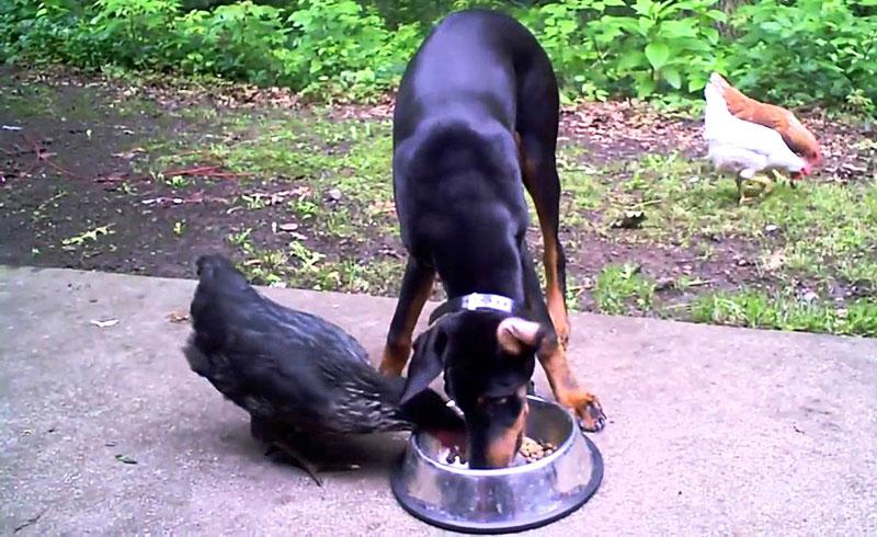 Eccezionale Video divertenti di galline alle prese con gatti, cani, bambini  FP17