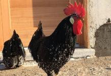 Bosco della Città | Allevamento avicolo amatoriale galline razza Ancona