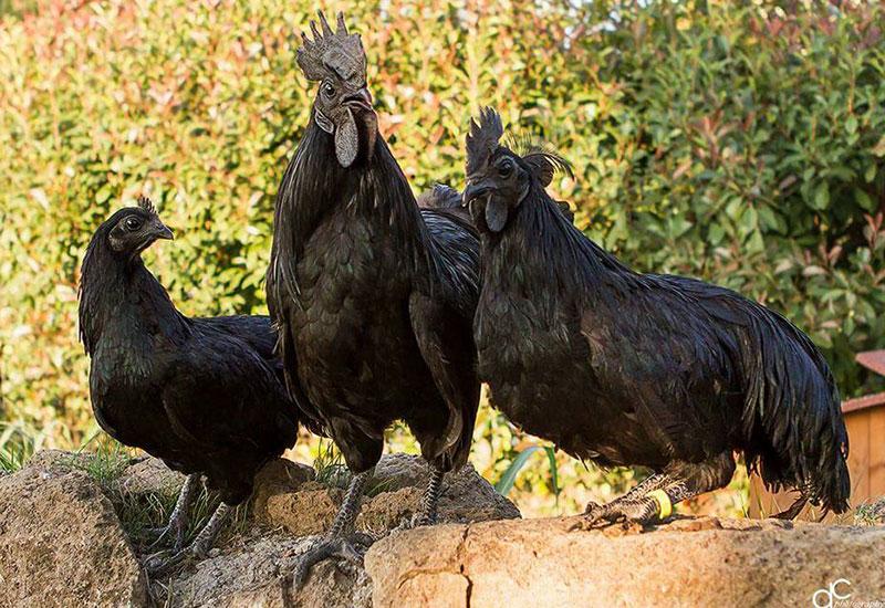 Allevamento avicolo I Galli della Dea Fortuna, razze galline ornamentali