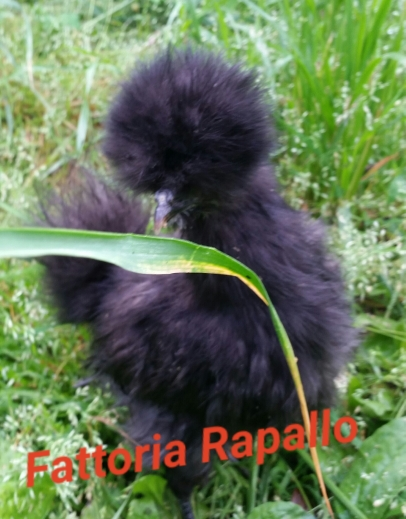 Allevamento galline ornamentali Moroseta, Fattoria Rapallo, Genova