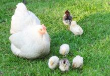 Chioccia: gallina che cova e alleva pulcini (tutto quello che c'è da sapere) | Tuttosullegalline.it