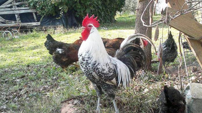 Ca Guidi, allevamento pollo romagnolo