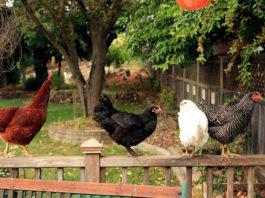 """Con """"Adotta una cocca"""" fino a 4 galline anche nei giardini urbani   Tuttosullegalline.it"""