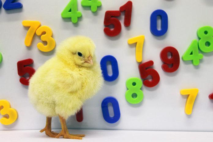 Cose incredibili che pulcini e galline possono imparare a fare