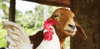 Video divertenti di galline e caprette | Tuttosullegalline.it