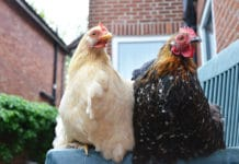 Codice Civile: le galline in condominio | Tuttosullegalline.it