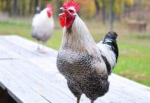 Odori e rumori del pollaio secondo il Codice Civile e il Codice Penale | Tuttosullegalline.it