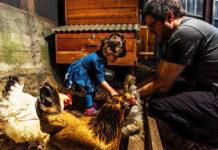 Matt Van Horn e sua figlia Sadie di 2 anni nutrono le loro galline