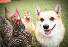 Video divertenti di galline e cani Corgi | Tuttosullegalline.it
