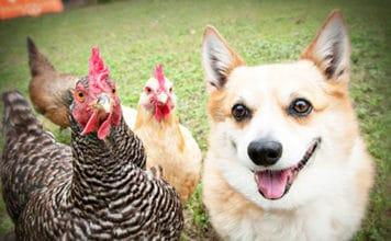 Video divertenti di galline e cani Corgi | Tuttosullegalline.it