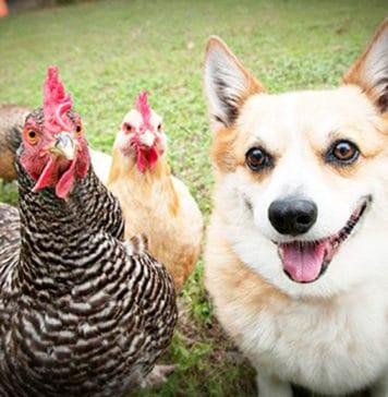 Video divertenti di galline e cani Corgi   Tuttosullegalline.it