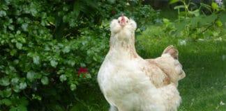 Faverolles: le favolose galline ornamentali dal portamento regale | Tuttosullegalline.it
