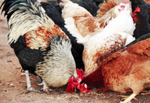 Mangime biologico per galline: tutti quelli disponibili in commercio | Tuttosullegalline.it