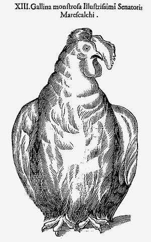La gallina bassotta bolognese sul trattato Monstrum Historia di Ulisse Aldrovandi