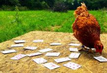 Video divertenti di galline che superano prove e giochi di abilità | Tuttosullegalline.it