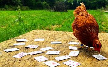 Video divertenti di galline che superano prove e giochi di abilità   Tuttosullegalline.it